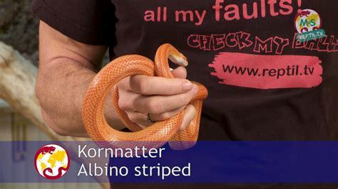 Reptiltv  Folge 38  Kornnattern Basics  Teil 1