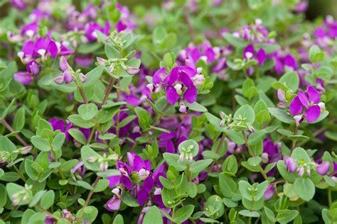 Polygala fruticosa 'Africana' (Sweet Pea Bush) - BBC ...