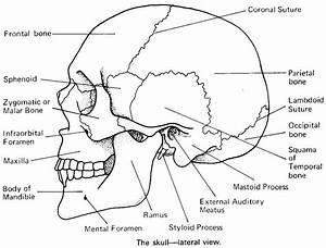 Exam 1 - Human Anatomy 220 with Suskovic at Minnesota ...