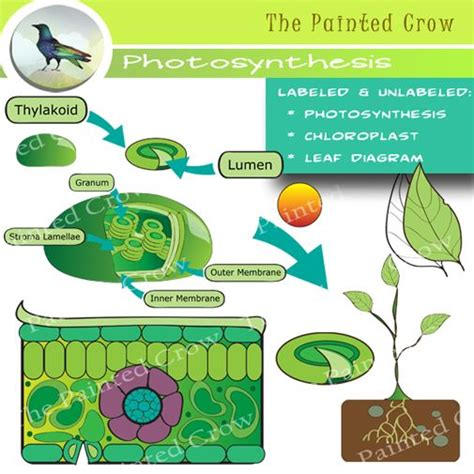 leaf diagram and photosynthesis clip art color and