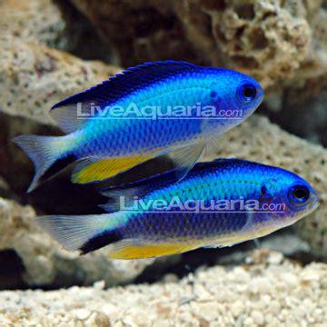 saltwater aquarium fish  marine aquariums neon damselfish