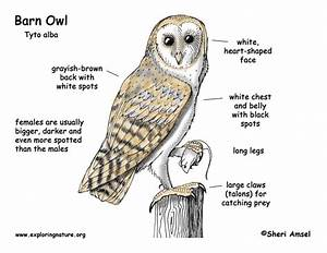 Barn Owl Labelled Diagram