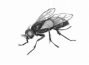 How to draw housefly