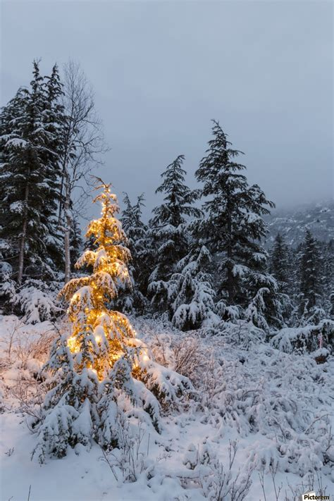 snowy alaskan cluster light tree a festive mountain hemlock evergreen tree strung with