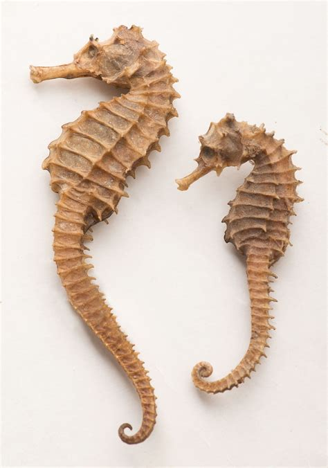 seahorse seahorses facts species coral many medicine near animal traditional incessant depletion reefs resulted extinction fishing