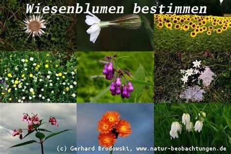 blumen mit namen blumen bestimmen wiesen und wildblumen steckbriefe bilder mit namen natur beobachtungen