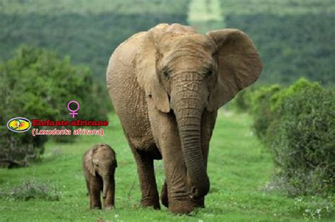 Elefante-africano (loxodonta Africana