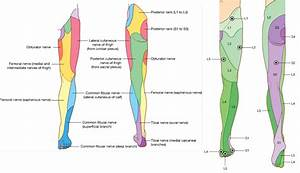 Dermatomes Lower Extremity Pictures