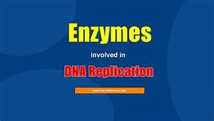 What Are The 6 Enzymes Involved In Dna Replication