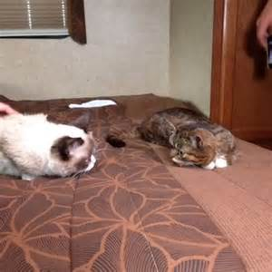 It's A Kitty Collision As Grumpy Cat And Lil Bub Finally Meet