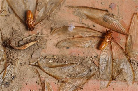 Control Ants In Kitchen by The Mcauleys In Zambia Termites Makoswe And Gekkos Oh My