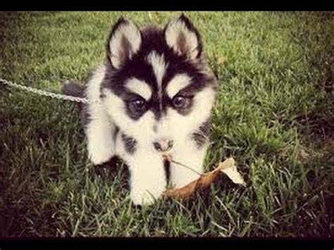 do pomskies shed bad pomsky the pomsky with a water ballon pomsky