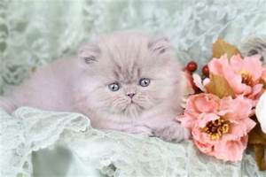 Solid Lilac Persian Kitten For Sale - ChubbsUltra Rare ...