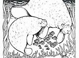 Manatee Coloring Pages Printable Colouring Getcolorings sketch template