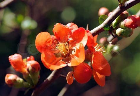 strauch mit roten blüten branch busch mit leuchtend roten bl 252 ten makro stockfoto colourbox
