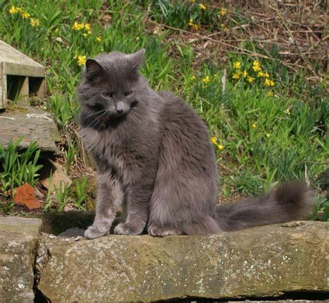 cat breeders lucindaville new cat breed
