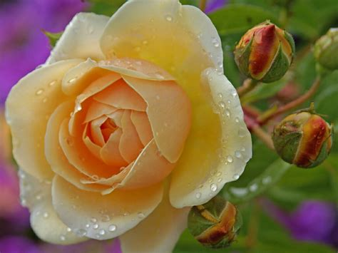 Nature, cute, flowers and more. flowers for flower lovers.: Beautiful Rose flowers ...