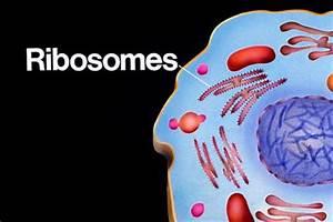 Cell City: Ribosomes - Brick factory