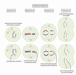 Importance Of Mitosis And Meiosis In Human Reproduction - Biology Bibliographies