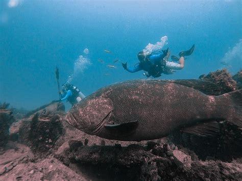 goliath grouper jupiter dive