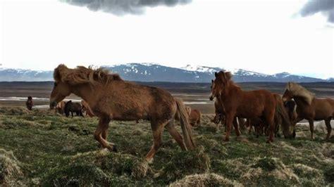 horse breeds icelandic horses meet social most