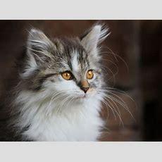 Schöne Katzenbilder  Süße Hauskatze Flauschig Und