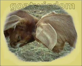 American Goat Society Forms by Links Www Mnnigeriandwarf