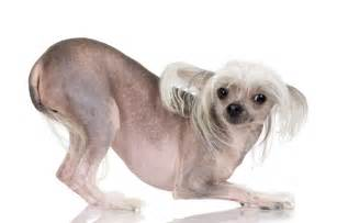 Non Shed Dog Breeds by Chinese Crested Hairless Dog Memes