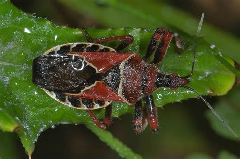 assassin bugs search in pictures
