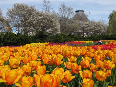 wallpapers ottawa tulips