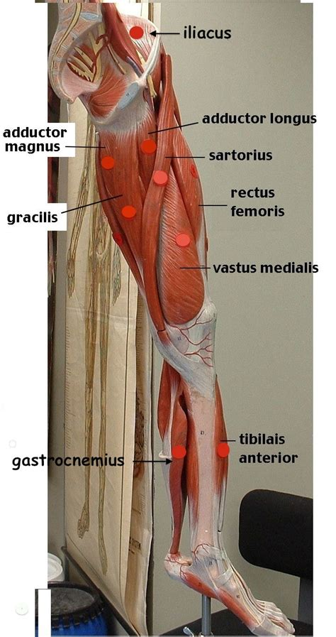 Do you know the names of the muscles in english?become one of my students! Photo of Arm Muscle model with outlined and named muscles | A&P | Pinterest | Anatomy, Arm ...