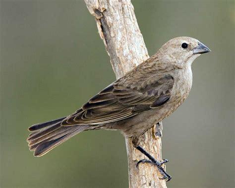 brown headed cowbird audubon field guide