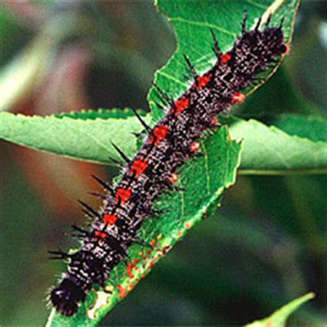 montana state butterfly mourning cloak video  pictures