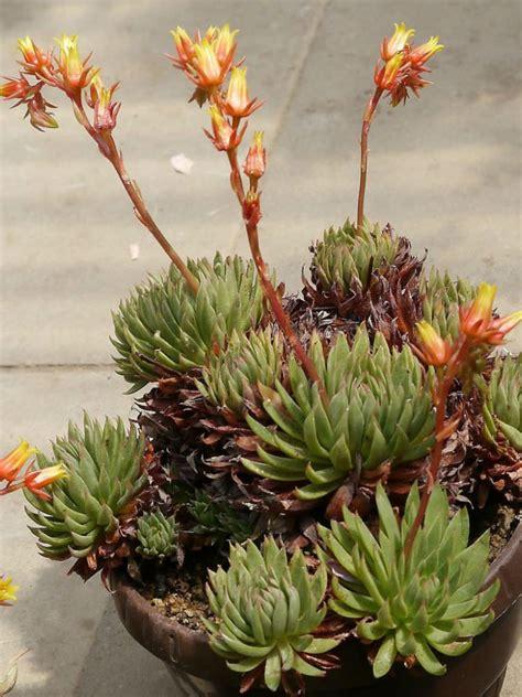 echeveria calderoniae world  succulents