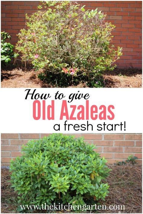 25 best ideas about azaleas landscaping on flowers garden azalea shrub and yard