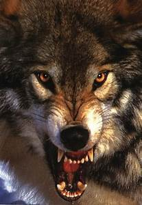 wolf growling | Snarling Wolf Large Closeup Bares Fangs ...