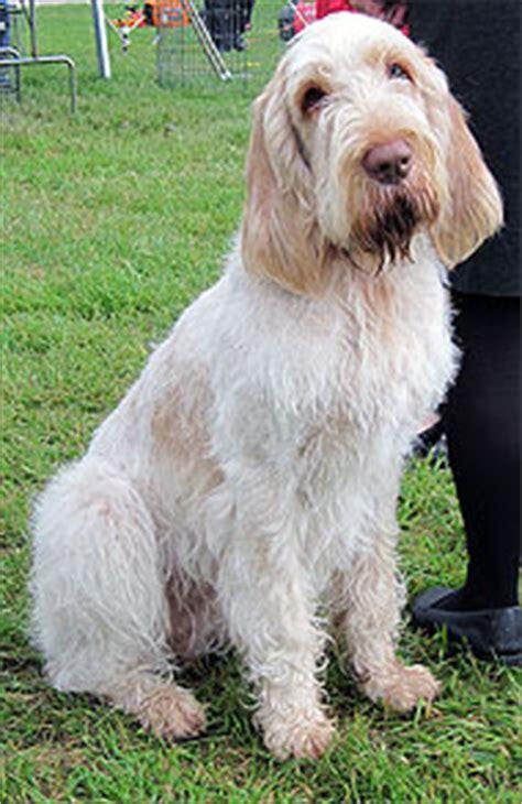 spinone italiano dog sporting dog breeds  dog encyclopedia dogs  depthcom