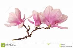 Fleur De Magnolia : une branche de fleur de magnolia photo stock image 39636285 ~ Melissatoandfro.com Idées de Décoration