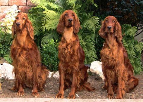 irish setter all big dog breeds