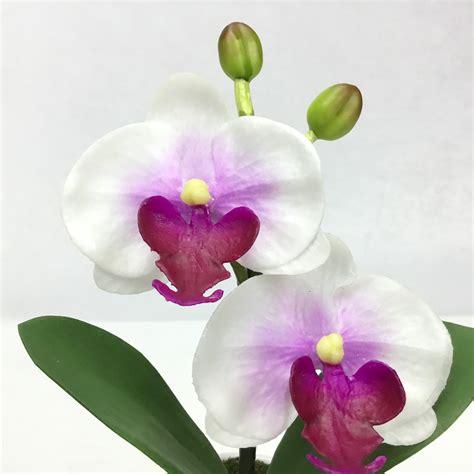 ดอกกล้วยไม้ phalaenopsis จัดในกระถางเซรามิค
