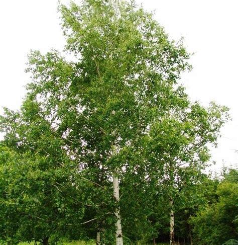 silver birch betula alba