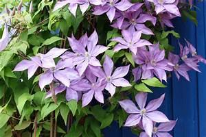 Clematis Pflanzen Kübel : pflanz pflegeanleitung f r clematis als k belpflanze native plants ~ Orissabook.com Haus und Dekorationen