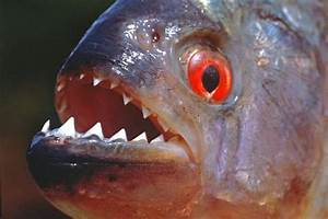 Piranha Attacks Are Even More Terrifying Than You Thought ...