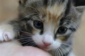 kitty cat pictures cutest kitty cat