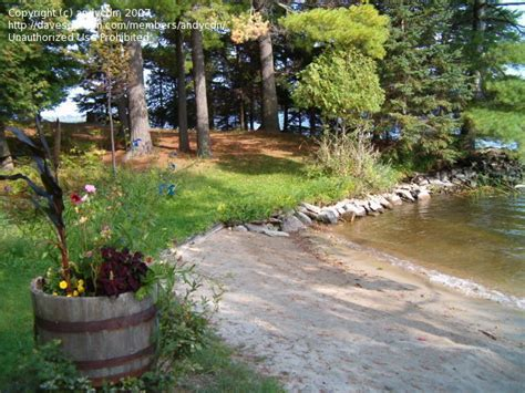 landscaping ideas for planting pine trees