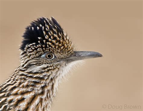 roadrunner new mexico state bird roadrunners and