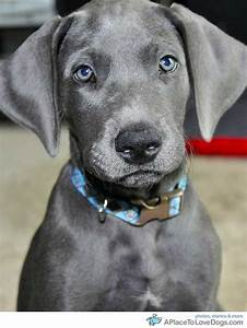 Cute Dogs: Blue Great Danes