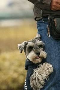 WHITE Miniature Schnauzer Pups *** | Just look at Cute ...