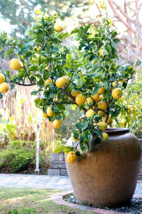lemon tree care as you correctly a lemon tree