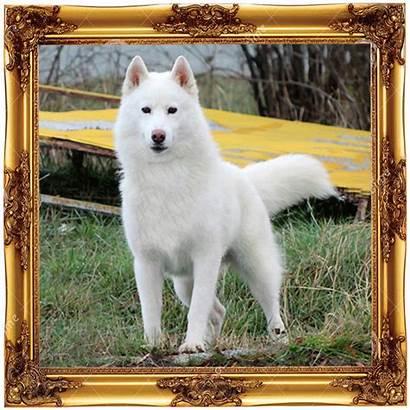 Husky Wolves Power Oesterreich Dream